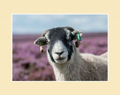 Swaledale in Heather Print